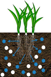 The water moves from an environment of low salt content (the plant cell) to an area of high salt content (the soil outside the plant roots). This limits the water available to the roots of the turf plants and causes plant stress.